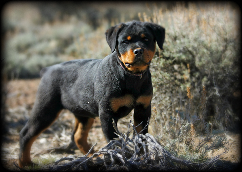 rottweiler breeders, rottweiler puppies for sale, german rottweilers for sale