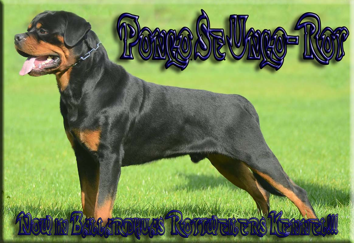 Adult Rottweiler Male, Pongo Se Ungo-Rot, Working Rottweiler Stud Dog,